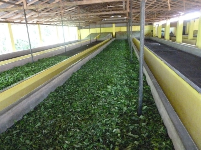The leaves of the tea plant are slowly air dried during the first stage of the process