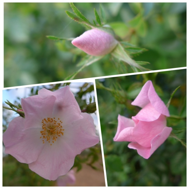 I was very excited today to see my first dog rose of this camino