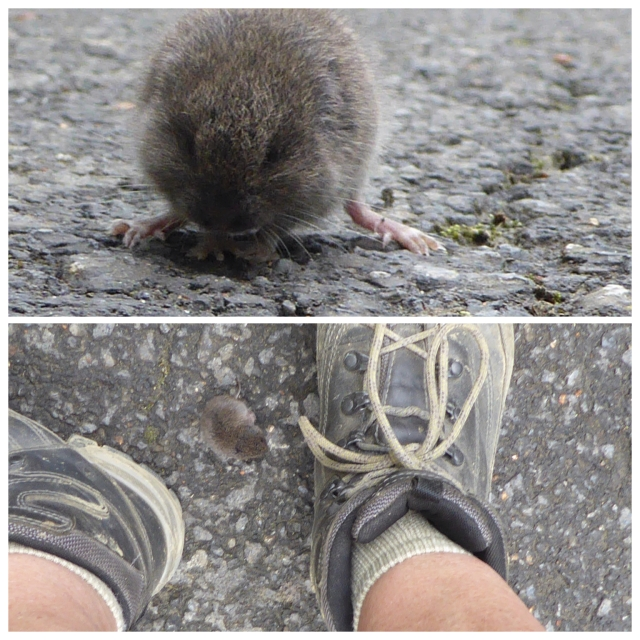 This odd mouse-like creature was wandering on the road today, it seemed to have no sense of sight and walked right between my feet.