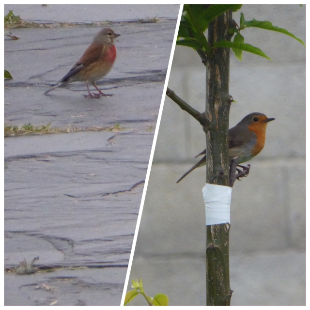 Even I know a robin when I see one, but what is the bird on the left?
