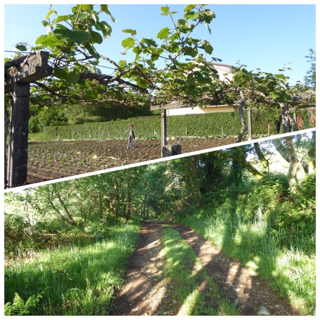 I have noticed a lot of kiwi vines growing in these parts as in the top photo